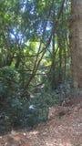 在森林里找到的藤本植物 图库摄影