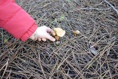在森林里收集蘑菇 库存图片