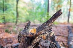 在森林里染黄在腐烂的树干的色的秋叶 免版税库存照片