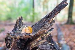 在森林里染黄在腐烂的树干的色的秋叶 库存照片