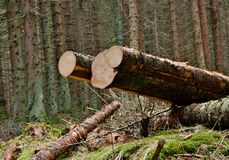 在森林里砍树 库存照片
