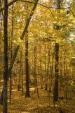 在森林里面的明亮的黄色秋叶曼斯菲尔德凹陷的, Co 免版税库存图片
