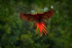 在森林金刚鹦鹉鹦鹉飞行的红色鹦鹉在深绿植被 猩红色金刚鹦鹉, Ara澳门,在热带森林里,哥斯达黎加 Wildlif 库存照片