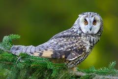 在森林长耳朵猫头鹰的猫头鹰坐分支在下落的落叶松属森林里在秋天期间 从自然h的野生生物场面 免版税库存图片