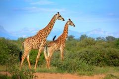 在森林附近的两头长颈鹿,德拉肯斯山脉在背景中 与大动物的绿色植被 从nat的野生生物场面 库存照片
