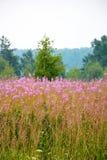 在森林附近的柳草 免版税库存图片