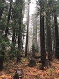 在森林雾的被烧的树 免版税库存图片