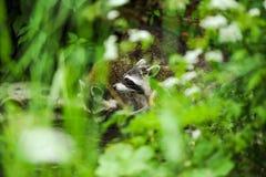 在森林饮用水的浣熊 库存图片