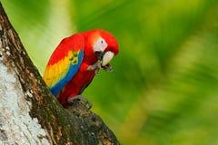 在森林鹦鹉的红色鸟在绿色密林栖所 在孔附近的红色鹦鹉 模仿猩红色金刚鹦鹉,在绿色回归线的Ara澳门, 库存图片