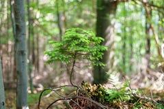 在森林A小针叶树、杉木或者云杉的一棵自然地增长的盆景树 免版税库存照片