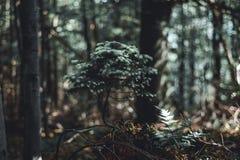 在森林A小针叶树、杉木或者云杉的一棵自然地增长的盆景树 库存图片