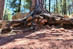 在森林Canyon湖,可可尼诺县,亚利桑那,美国的树干 库存照片