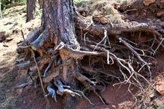 在森林Canyon湖,可可尼诺县,亚利桑那,美国的树干 免版税库存图片