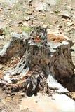 在森林Canyon湖,可可尼诺县,亚利桑那,美国的死的树桩 免版税图库摄影