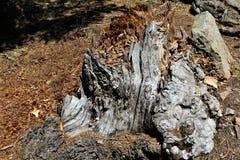 在森林Canyon湖,可可尼诺县,亚利桑那,美国的死的树桩 免版税库存图片