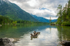 在森林Mountain湖的三只鸭子 库存图片