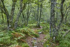 在森林Muniellos生物圈储备的老橡树 航天学 免版税图库摄影