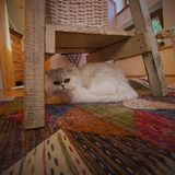在椅子下的猫 免版税库存图片