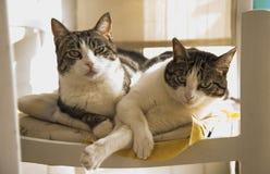 在椅子的家猫夫妇  免版税图库摄影