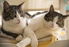 在椅子的家猫夫妇  免版税库存图片