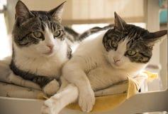在椅子的家猫夫妇  免版税库存照片