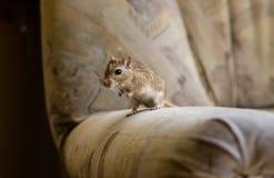 在椅子的沙鼠老鼠 库存照片