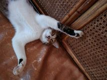 在椅子的肥胖逗人喜爱的猫睡眠 库存照片