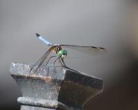 在椅子的蓝色dasher蜻蜓 免版税库存照片