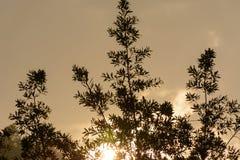 在植物以后的黄色日落 库存图片