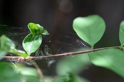 在植物分支的蜘蛛网特写镜头 免版税库存图片