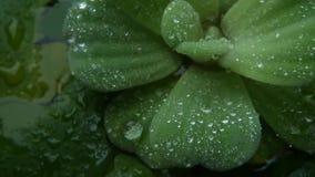在植物叶子的水下落 从绿色植物上特写镜头叶子有干净的淡水下落的  股票视频
