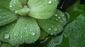 在植物叶子的水下落 从绿色植物上特写镜头叶子有干净的淡水下落的  影视素材