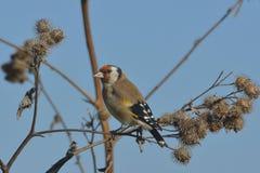 在植物名的欧洲金翅雀 图库摄影