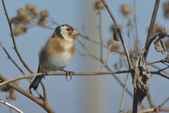 在植物名的欧洲金翅雀 库存图片