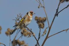 在植物名的欧洲金翅雀 免版税图库摄影