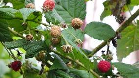 在植物和悬钩子属植物idaeus树的健康果子悬钩子属植物idaeus 免版税库存图片