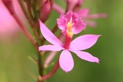 在植物园的桃红色花 图库摄影