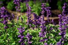 在植物园的蓝色小花 免版税图库摄影
