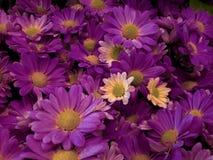 在植物布置、背景和纹理的紫色雏菊花 库存照片