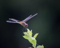 在植物技巧的蜻蜓  免版税库存照片