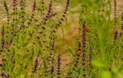 在植物栖息的两只棕色被察觉的蝴蝶 免版税库存图片