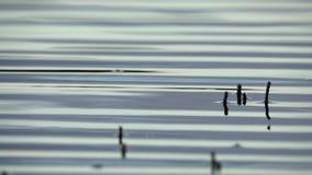 在植物海湾苏格兰4K的波纹 股票录像