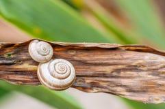 在植物特写镜头的两蜗牛壳 图库摄影