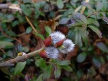 在植物的一个稀薄的分支的毛茸的芽 免版税库存照片