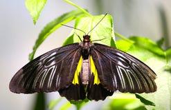 在植物的一只黑蝴蝶 库存图片