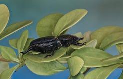 在植物的一点锹虫 免版税库存照片