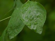 在植物的一片绿色叶子的雨珠 库存图片