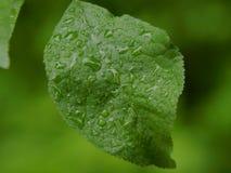在植物的一片绿色叶子的雨珠 免版税库存照片