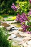 在植物的丁香对庭院 库存图片
