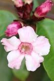 在植物的上升的夹竹桃桃红色花 免版税库存图片